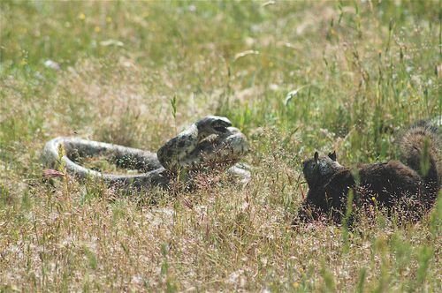 Squirrel_vs_snake.jpg