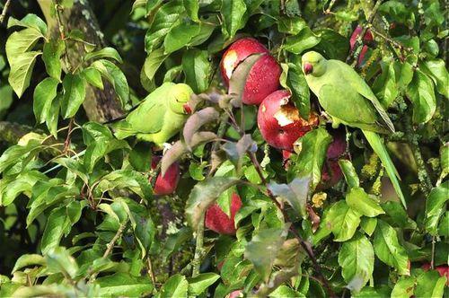 perruches-pommes.jpg