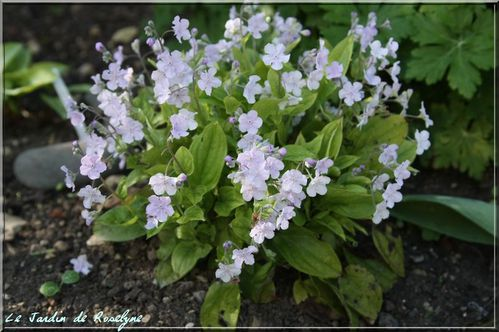 omphalodes cappadocica 'cherry ingram' (2)
