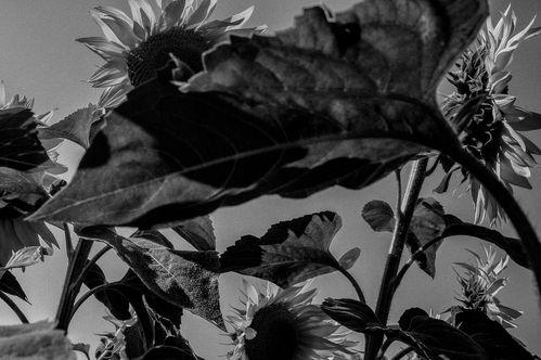 ann-ray-2013-sunflower