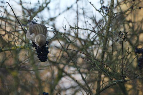 Verdier d'Europe s'alimentant photo d'oiseaux de Picardie Amiens Benoit Henrion