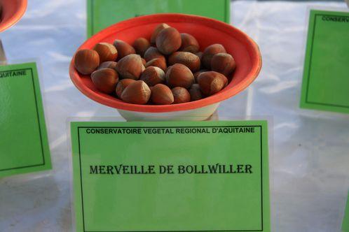Corylus avellana, noisette, Montesquieu (47) Conservatoire