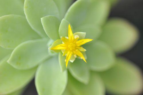 aeonium fleur