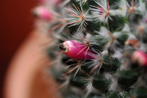 rebutia-fruit.jpg