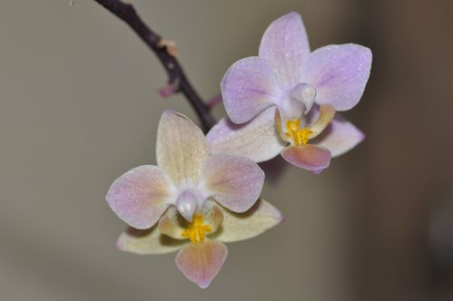 phal eques orange