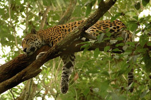Panthera onca -sleeping in tree -Belize Zoo-8