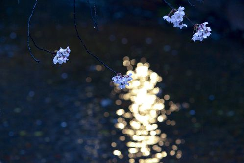 cherry blossom twilight