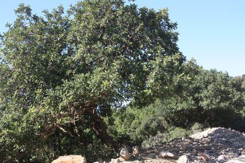 Pistacia-terebinthus-Zaghouan-25-11-2012.JPG