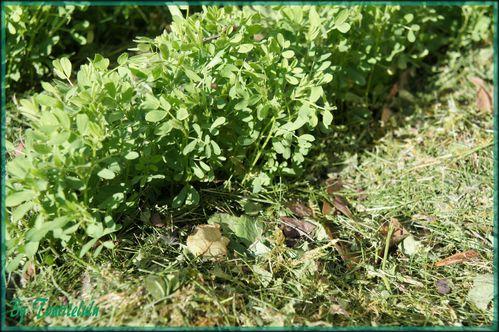 Paillage tonte de pelouse potager (14)