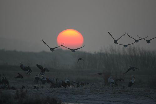 Oies cendrées en vol photo d'oiseaux de Picardie parc du marquenterre Benoît Henrion