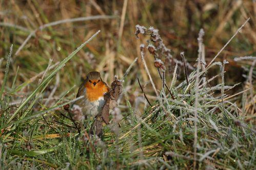Rouge-gorge familier en hiver photo d'oiseaux de Picardie parc du marquenterre Benoît Henrion