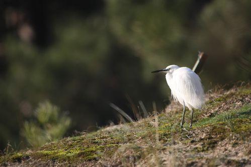 Spatule en hiver photo d'oiseaux de Picardie parc du marquenterre Benoît Henrion