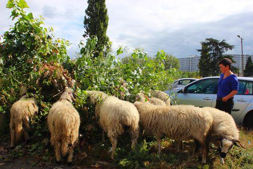 Clinamen-les-moutons 2305bis