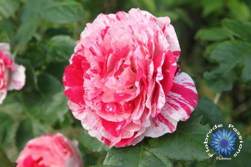 fleurs-5784-copie-1.JPG
