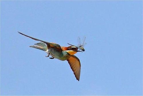 Oiseau libellule