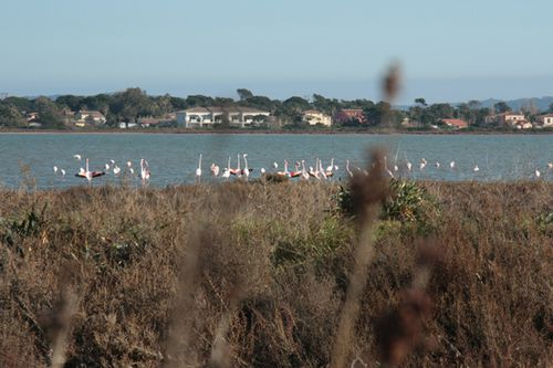 flamants roses-almanarre (15)