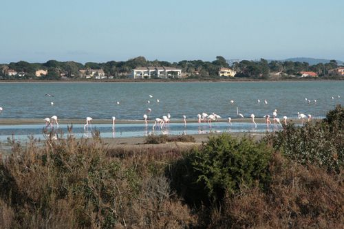 flamants roses-almanarre (4)