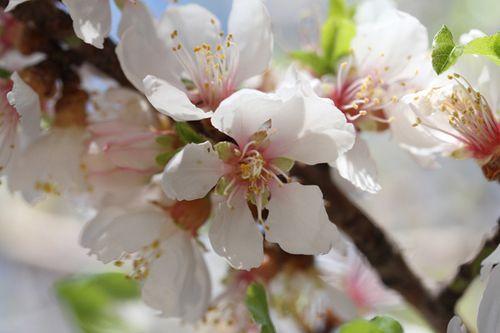 fleurs amandier (3)