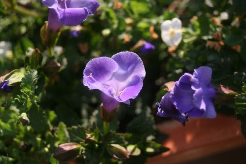 Torenia--Large-Blue-.JPG