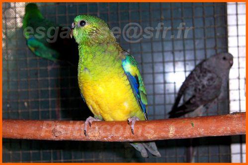 jeune Mâle vert porteur orange ino opaline et bleu p1