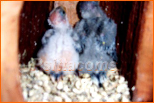 bloc N°7 au27;04;2011, 2 jeunes croupions P2 site