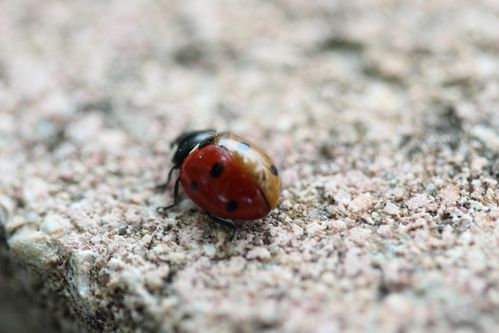 coccinelle orange et rouge