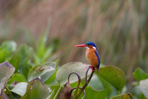 animal-oiseau-martin-pecheur-huppe-alcedo-cristata-1.jpg