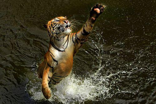 tigre 5