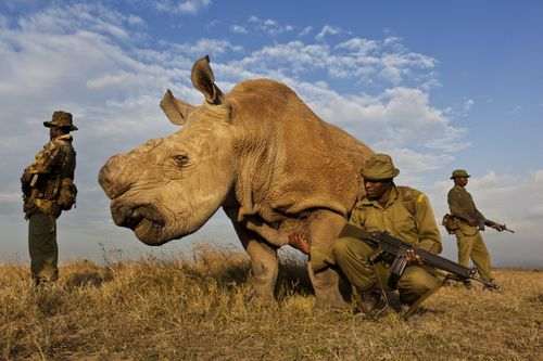 Rhino wars Rhinocéros photo Brent Stirton