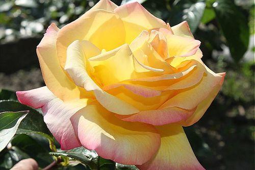 Rose 2122011
