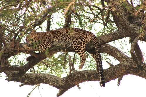 leopard-in-the-tree.JPG