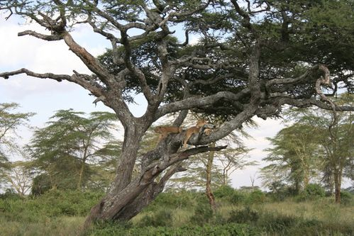 Lionnes-arbres.JPG