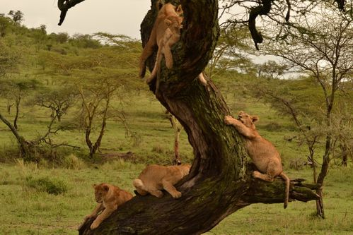 5-lions-in-tree.JPG
