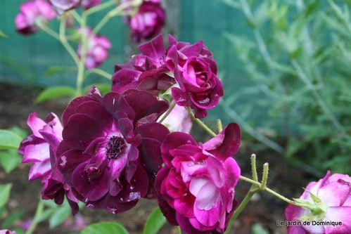 Roses-2010 2239