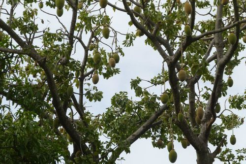 4 Adansonia digitata Baobab Toubacouta Cl (2)
