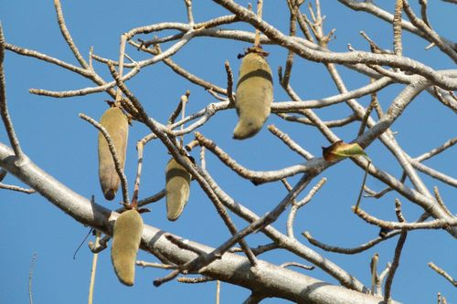 8--Adansonia-digitata-Baobab-fruits--Dakar-Cl--1-.jpg