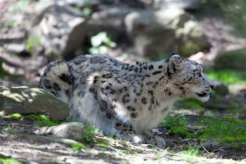 snow-leopard-copie-1