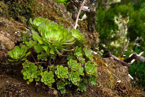 19.plante-grasse-famille-des-aenium.foret-humide