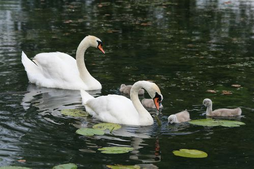 cygne gournay famille