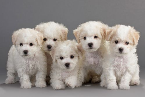 bichon-copie-1.jpg
