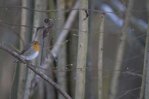 Rouge-gorge hiver photo d'oiseaux de Picardie Amiens Benoit Henrion