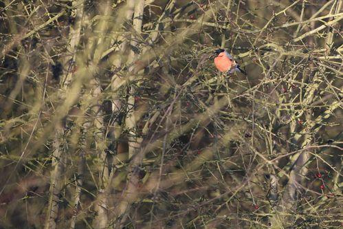 Bouvreuil pivoine mâle photo d'oiseaux de Picardie Benoit Henrion