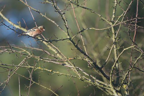 Pinson des arbres photo d'oiseaux de Picardie Amiens Benoit Henrion