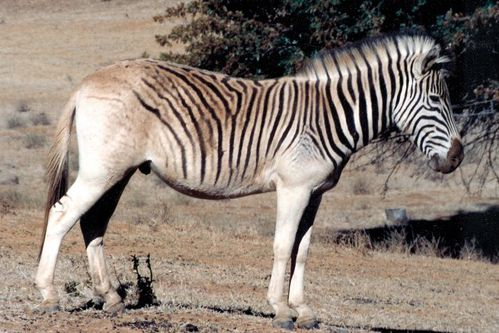 Quagga-reconstitution