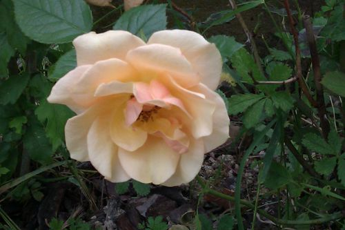 Rose-Saumon-09-06-2012.jpg