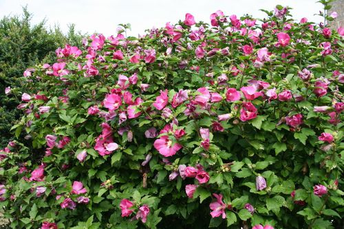 hibiscus syriacus moscheutos rosa sinensis pour. Black Bedroom Furniture Sets. Home Design Ideas