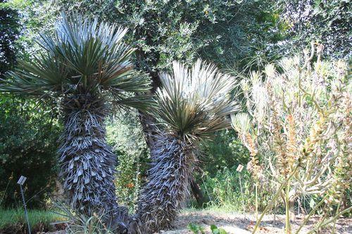 Trithrinax campestris, Menton (06) Jardin botanique du Val