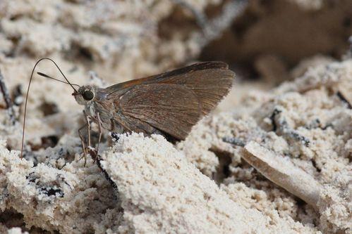 papillons CUBA3720