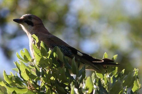 oiseaux1580