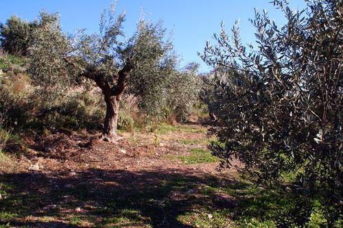 685b1 oliviers